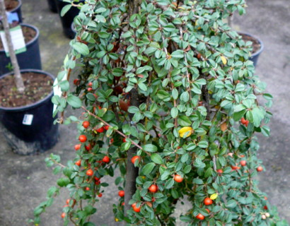 Cotoneaster suecicus 'Coral Beauty' stam - dwergmispel
