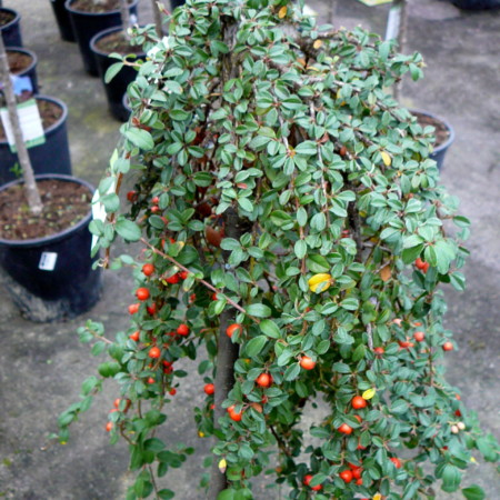 Cotoneaster suecicus 'Coral Beauty' op stam - dwergmispel