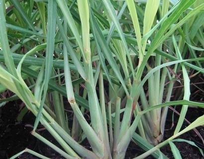 Citroengras pot 1.5 liter
