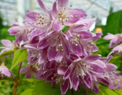 Deutzia hybr. 'Strawberry Fields' - bruidsbloem