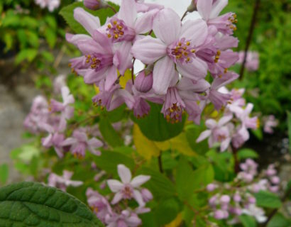 Deutzia hybr. 'Mont Rose' - bruidsbloem