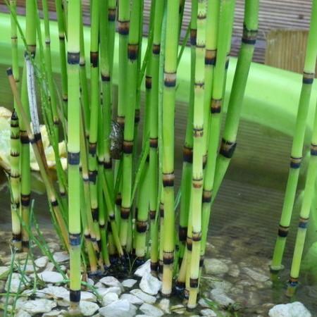 Equisetum japonicum - japanse holpijp