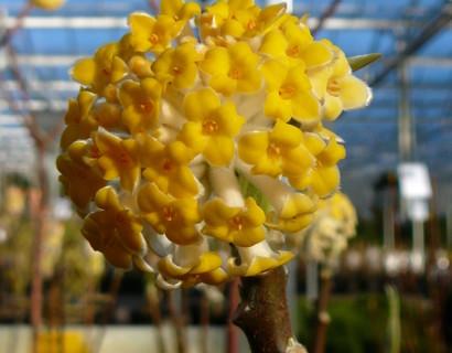 Edgeworthia 'Grandiflora' pot 7.5 liter - papierstruik