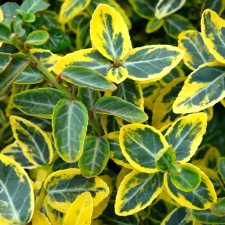 Euonymus fortunei 'Emerald 'n Gold' - kardinaalsmuts of kardinaalshoed