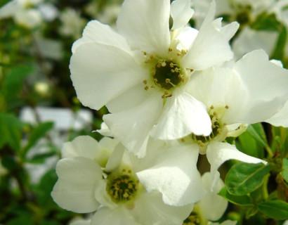 Exochorda racemosa 'Niagara' - parelstruik