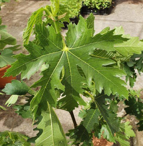 Ficus carica 'Ice Crystal' - vijg