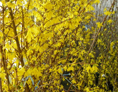 Forsythia 'Weekend' of 'Courtalyn'