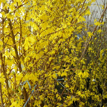 Forsythia 'Weekend' of 'Courtalyn' - Chinees klokje