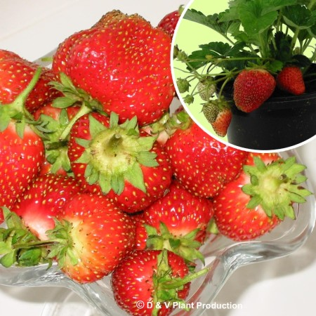 Fragaria 'Temptation' - doordragende aardbei