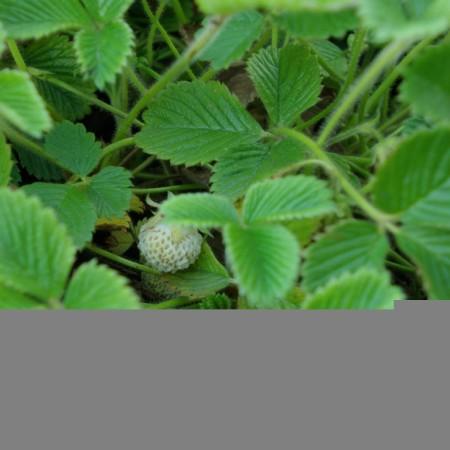 Fragaria rubicola 'Mount Omei' - abrikozenaardbei