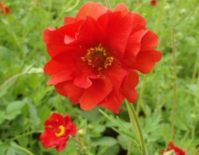 Geum chiloense 'Mrs. Bradshaw' pot 3 liter