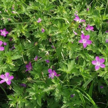 Geranium palustris - moerasooievaarsbek