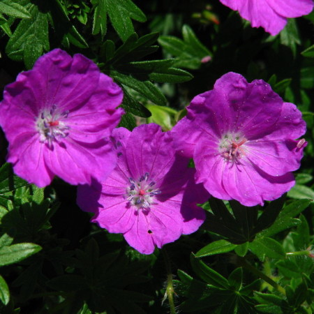 Geranium 'Tiny Monster' - ooievaarsbek