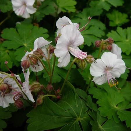 Geranium cantabrigiense 'Biokovo' - ooievaarsbek