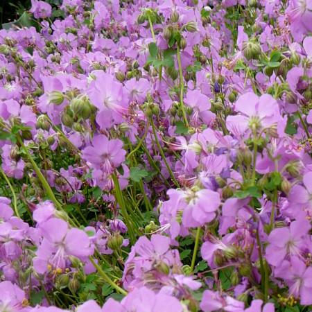 Geranium cantabrigiense 'Cambridge' - ooievaarsbek