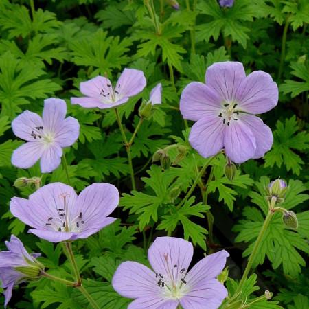 Geranium himalayense 'Baby Blue' - ooievaarsbek