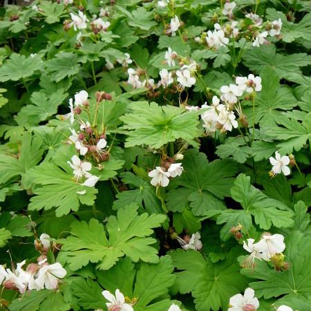 Geranium macrorrhizum 'Spessart' - ooievaarsbek