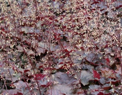 Heuchera 'Palace Purple' pot 3 liter - puperklokje