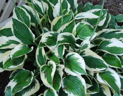 Hosta 'Patriot' (5 liter pot) - hartlelie