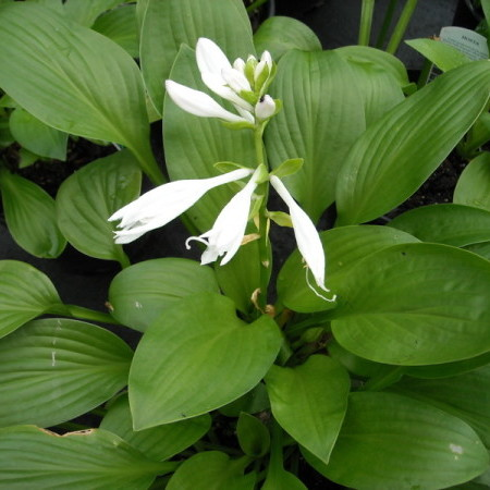Hosta 'Royal Standard' - hartlelie