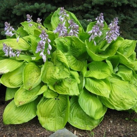Hosta 'Sum and Substance' - hartlelie