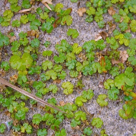 Hydrocotyle 'Nova Zealandiae' - waternavel