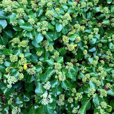 Hedera helix 'Arborescens' - struikklimop
