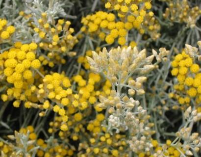 Helichrysum italicum 'Microphyllum' - kurriekruid