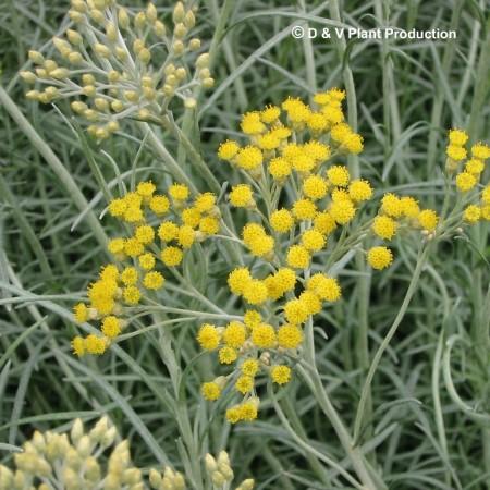 Helichrysum italicum - kurriekruid