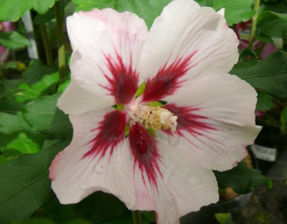 Hibiscus syriacus 'Hamabo' - altheastruik, heemstroos