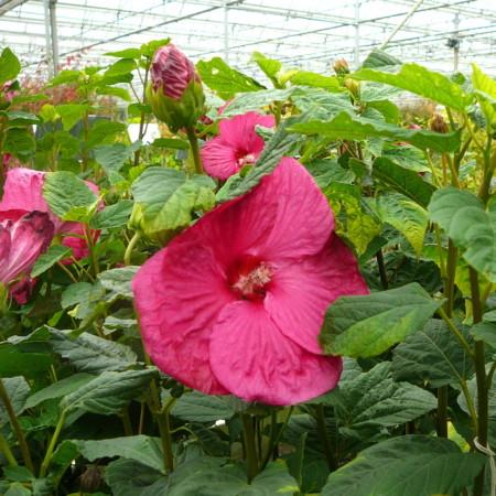 Hibiscus 'Mauvelous' - altheastruik, heemstroos