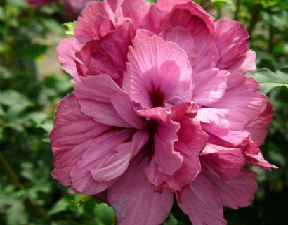 Hibiscus syriacus 'Duc de Brabant'