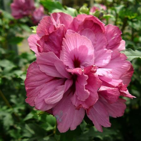Hibiscus syriacus 'Duc de Brabant' - altheastruik, heemstroos