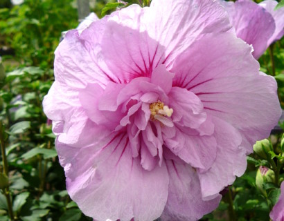 Hibiscus syriacus 'Lavender Chiffon' - altheastruik, heemstroos