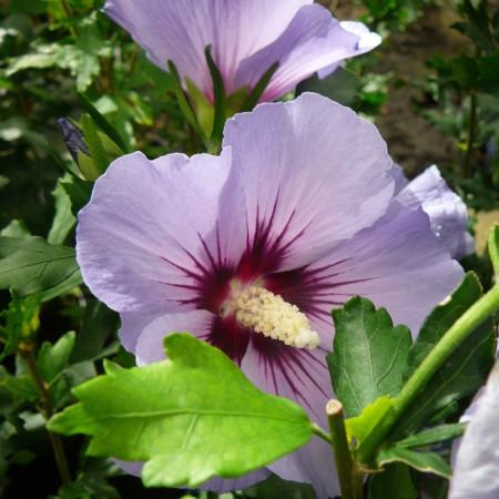 Hibiscus syriacus 'Oiseau Blue' - altheastruik, heemstroos