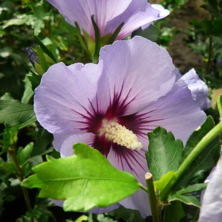 Hibiscus syriacus 'Oiseau Blue' op stam - altheastruik, heemstroos