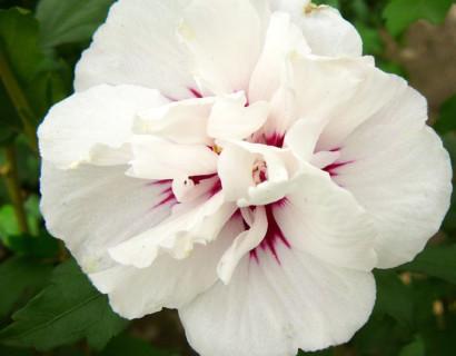 Hibiscus syriacus 'Speciosus' - altheastruik, heemstroos
