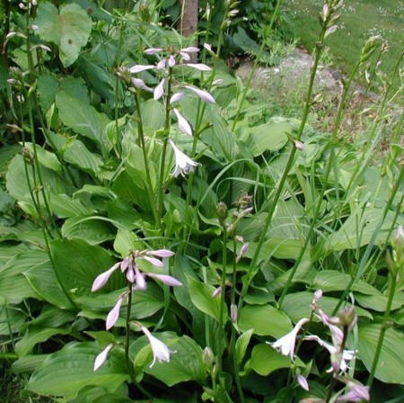 Hosta fortunei 'Hyacinthina' - hartlelie