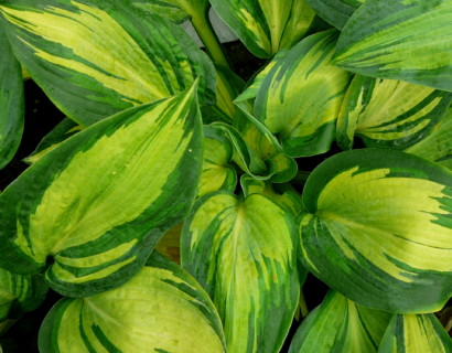Hosta sieboldiana 'Great Expectations' (grote pot)