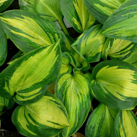 Hosta sieboldiana 'Great Expectations' (grote pot) - hartlelie