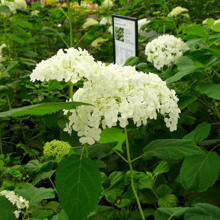 Hydrangea arborescens 'Annabelle' - hortensia