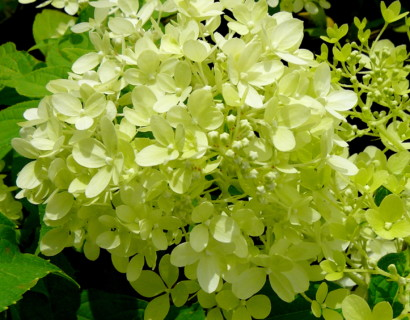 Hydrangea paniculata 'Little Lime' pot 2 liter