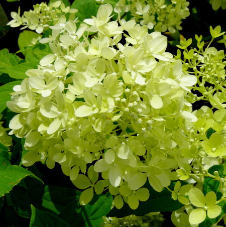 Hydrangea paniculata 'Little Lime' pot 3 liter