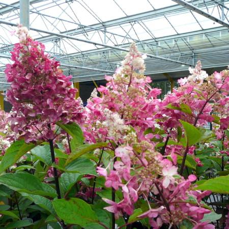 Hydrangea paniculata 'Vanille Fraise' op stam - Schapenkop-hortensia