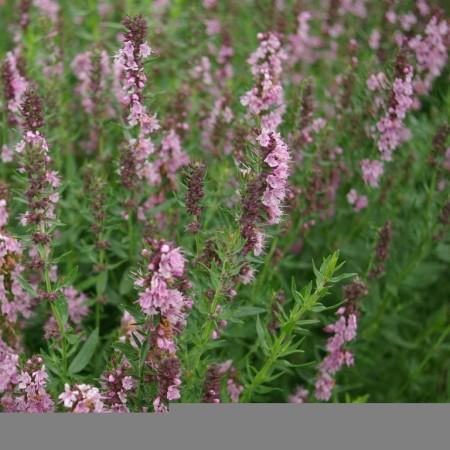 Hyssopus officinalis 'Rosea' - roze hyssop