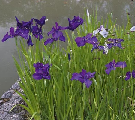 Iris kaempferi - japanse lis