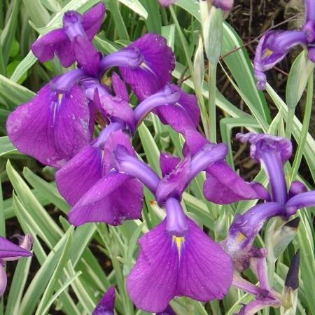 Iris kaempferi 'Variegata' - japanse lis