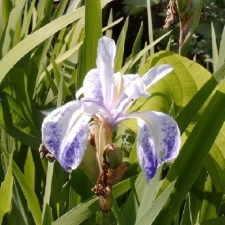 Iris laevigata 'Mottled Beauty' - water lis