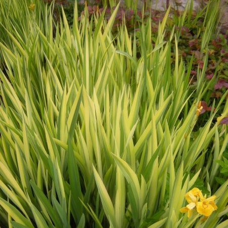Iris pseudacorus 'Variegata' - gele lis