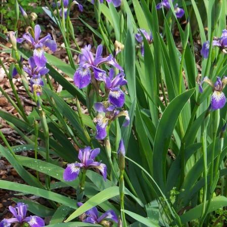 Iris versicolor - amerikaanse iris